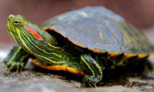 Проблема пневмонии у красноухих черепах