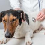 Диагностика отека легких у собак