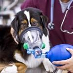 Лечение отека легких у собак