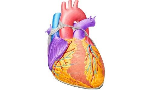 Гипоксия миокарда сердца: что это такое, симптомы, лечение ...
