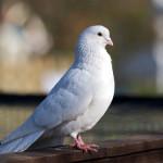 Голуби - разносчики орнитоза