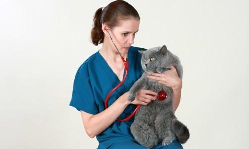 Лечение пневмонии кошек у ветеринарного врача