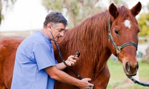 Осмотр лошади ветеринаром на ринопневмонию
