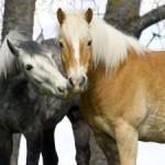Заражение ринопневмонией лошадей