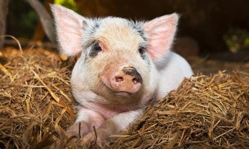 Проблема энзоотической пневмонии у свиней