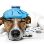 Повышение температуры у животных при пневмонии