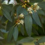 Эвкалиптовые листья для ингаляций